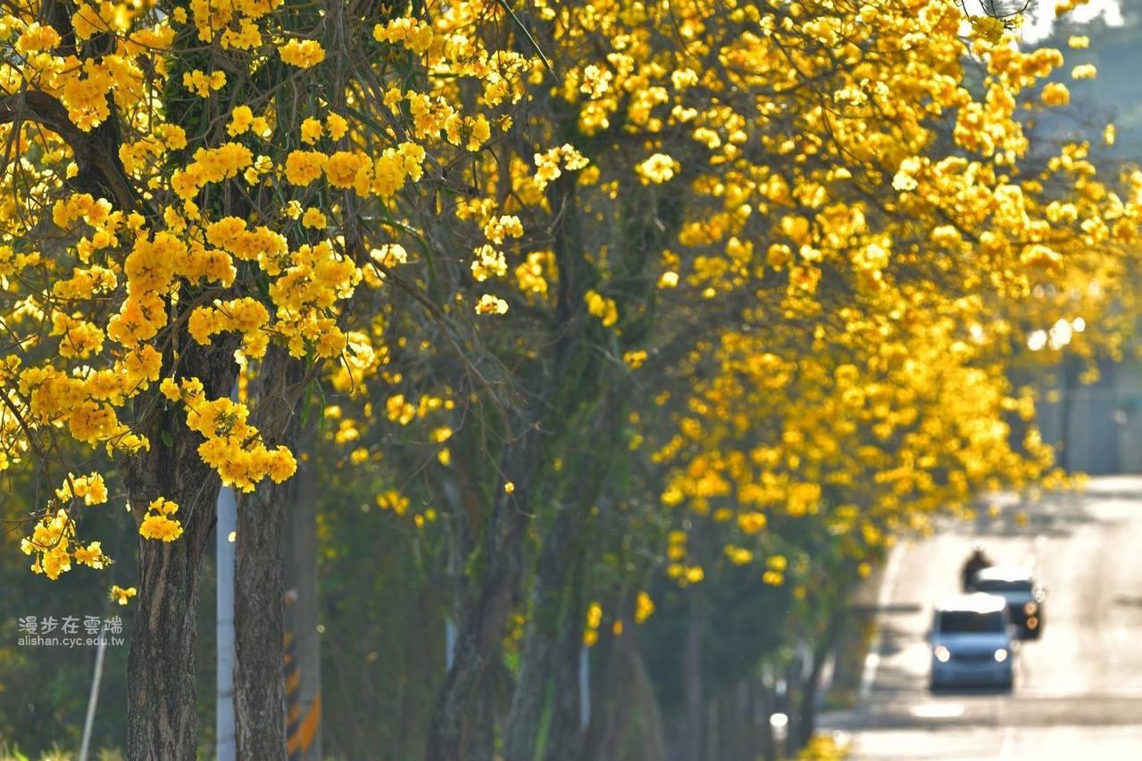 竹崎連外道路嘉166縣道旁,亦有大片風鈴木可以欣賞。圖/《漫步在雲端的阿里山》授...