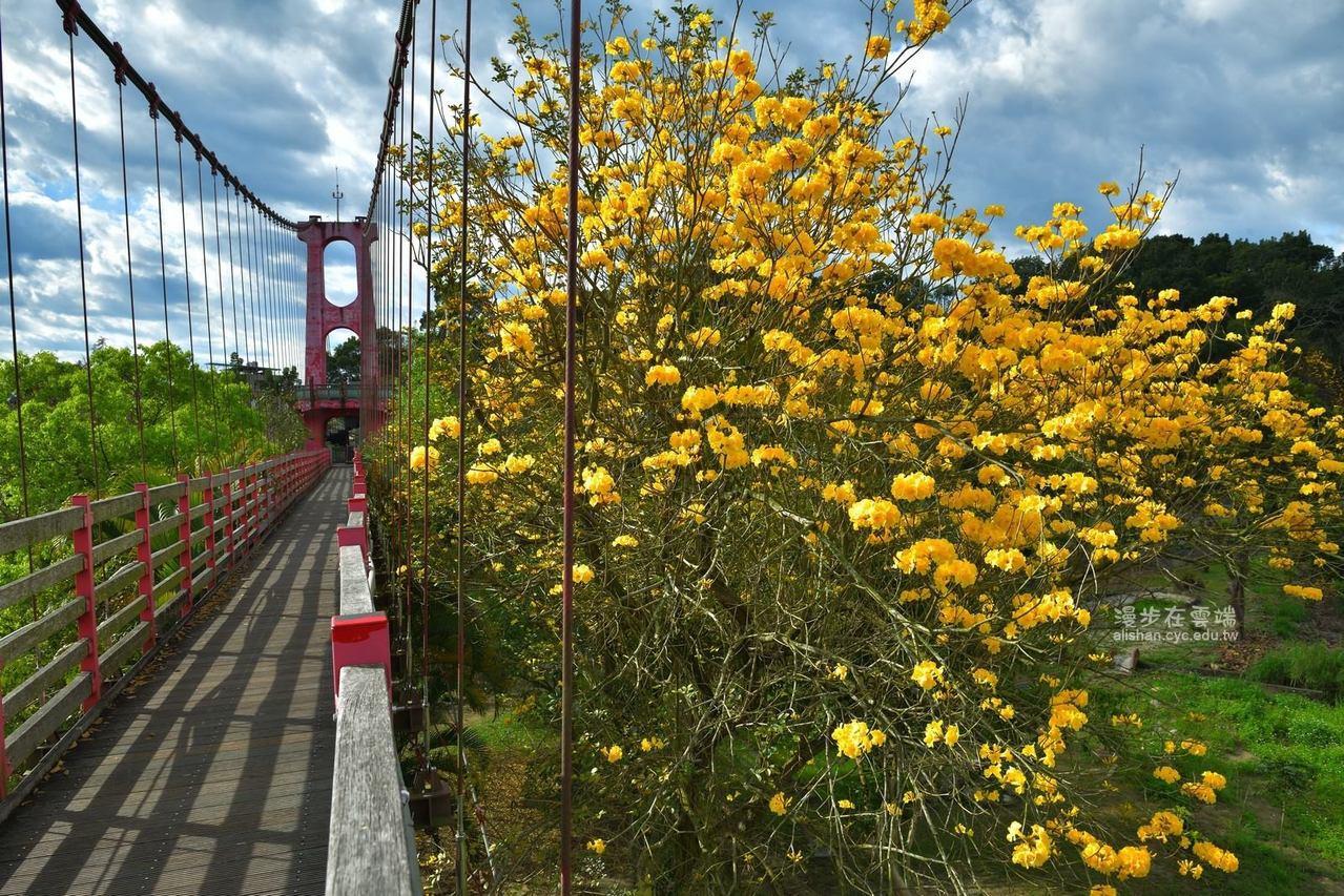 竹崎親水公園的弘景橋上,可看到金黃風鈴木的美姿。圖/《漫步在雲端的阿里山》授權提...
