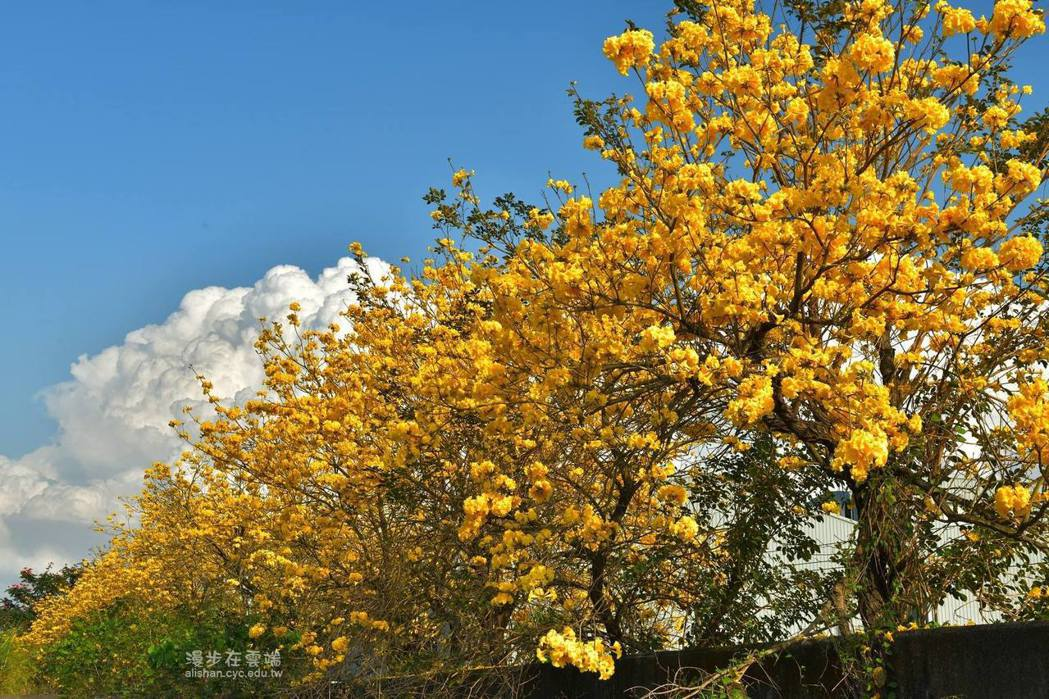 嘉義市牛稠溪防汛道路是近期熱門的賞花景點。圖/《漫步在雲端的阿里山》授權提供