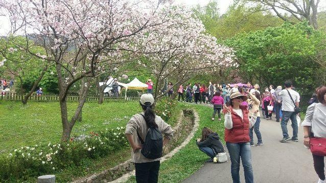 陽明山遊客中心前的吉野櫻盛開。圖/北市公園處提供