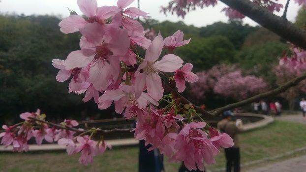 盛開的昭和櫻。圖/北市公園處提供