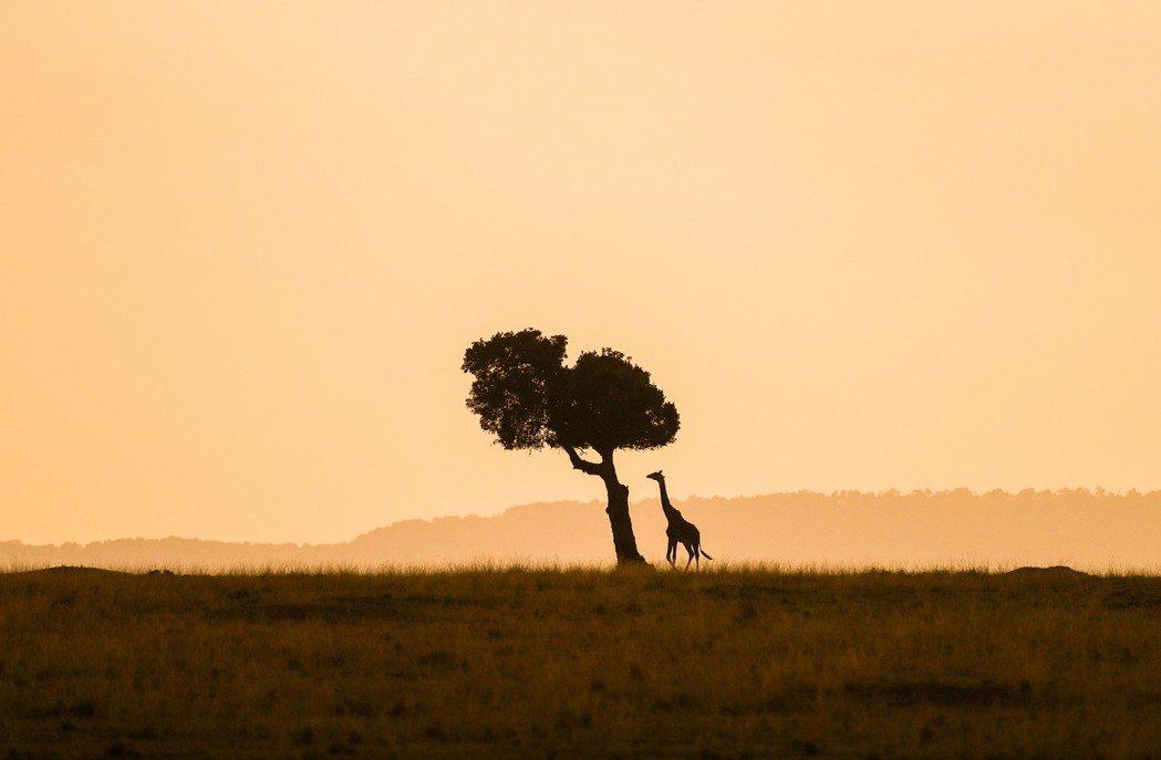 肯尼亞馬賽馬拉國家保護區內拍攝的長頸鹿。新華社資料照