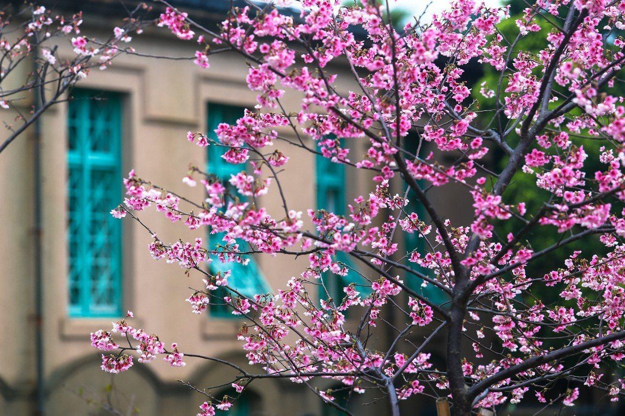 台北自來水園區內的櫻花綻放。聯合報系資料照/王騰毅攝影