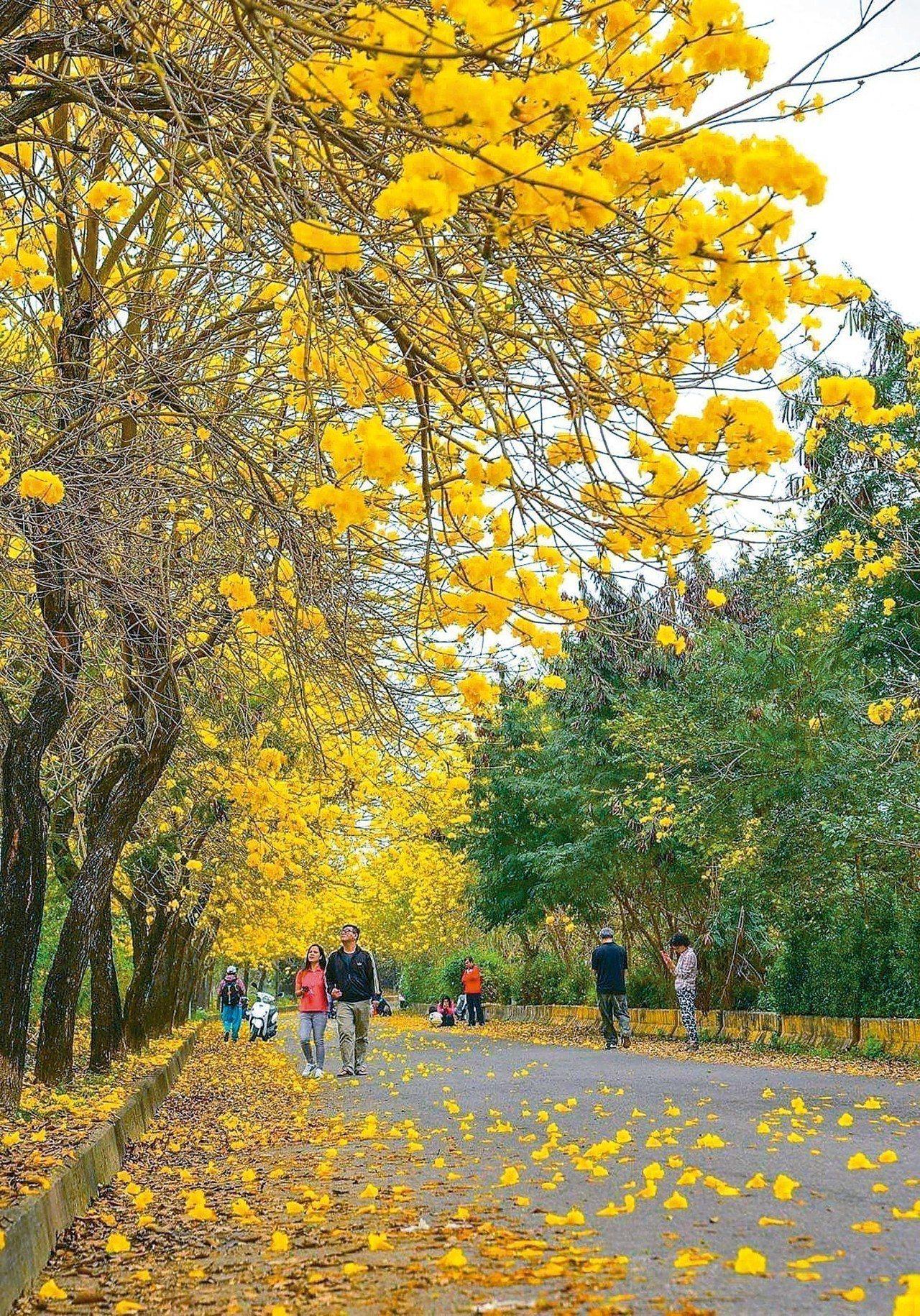 嘉義縣中埔鄉平實街周邊黃花風鈴木盛開,吸引許多人賞花拍照。 攝影師陳紜紜提供