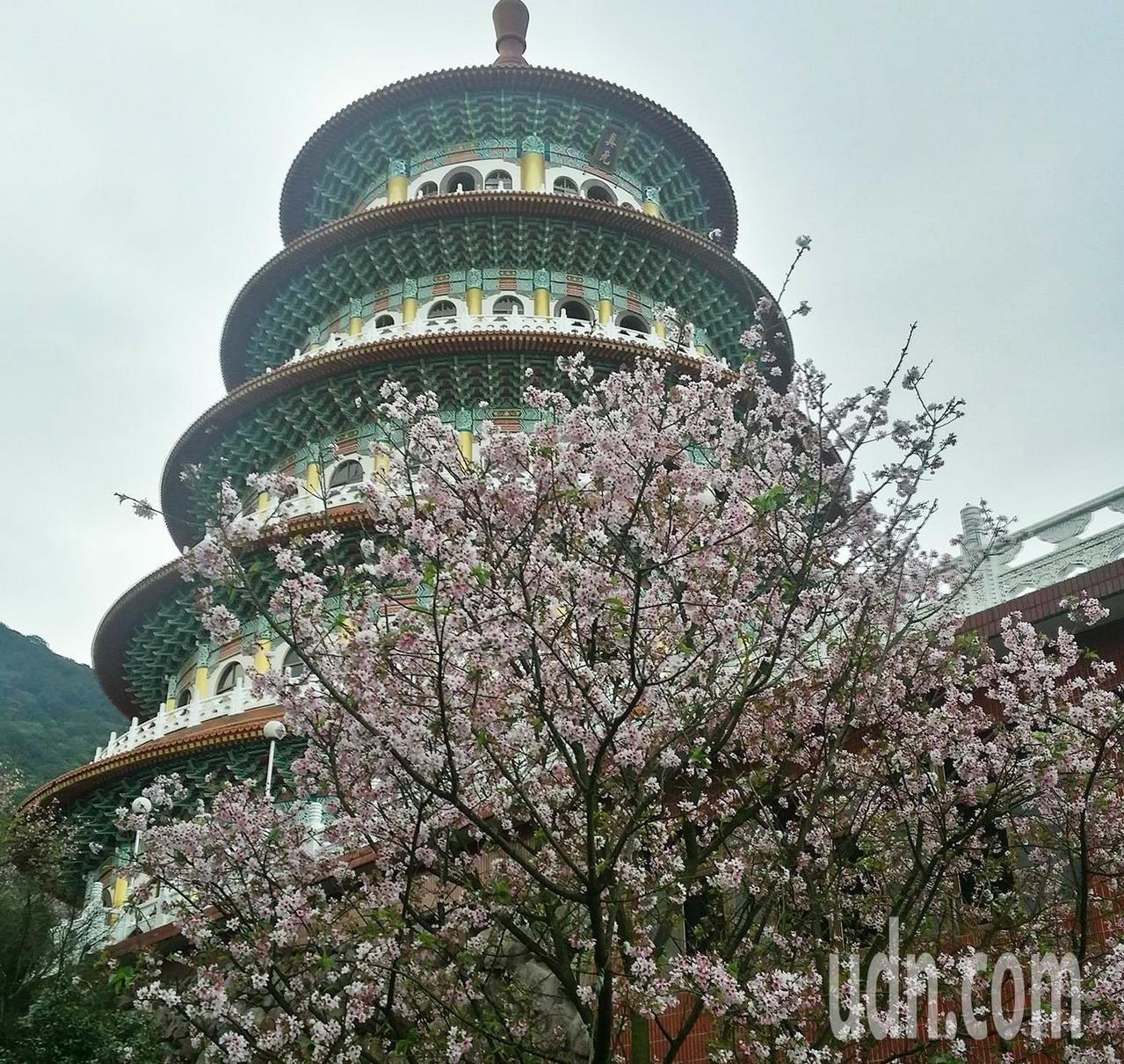 北台灣知名賞櫻景點、淡水無極天元宮的吉野櫻已零星綻放,預計3月15日至20日滿開。圖/淡水天元宮花況報導提供