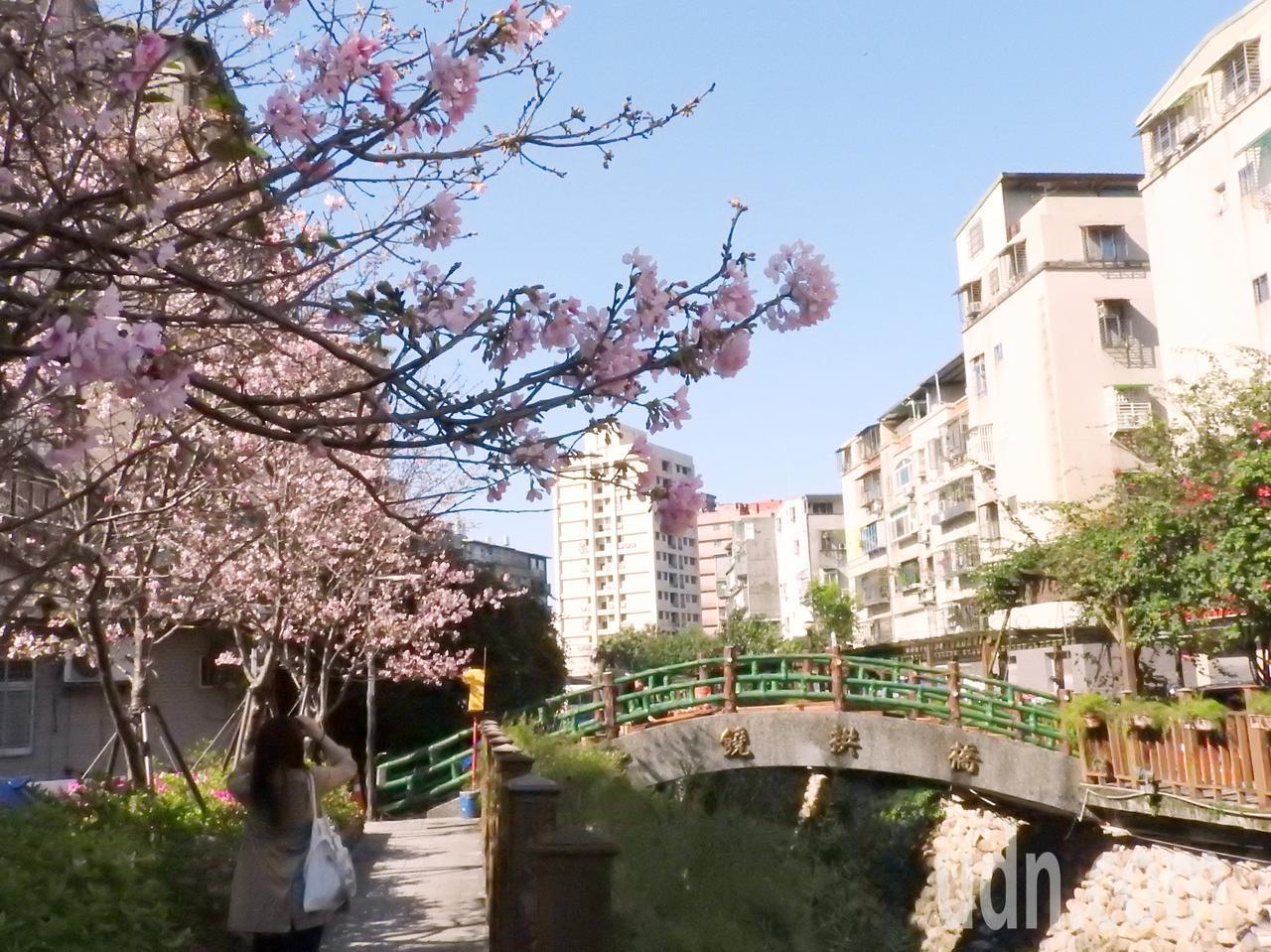 鄰近捷運海山站的土城「希望之河」昭和櫻已開四到五成,今天假日已吸引賞花民眾,估計3月中將盛開。記者祁容玉/攝影