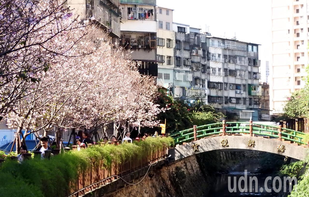鄰近捷運海山站的土城「希望之河」昭和櫻已開四到五成,假日已吸引賞花民眾,估計3月...