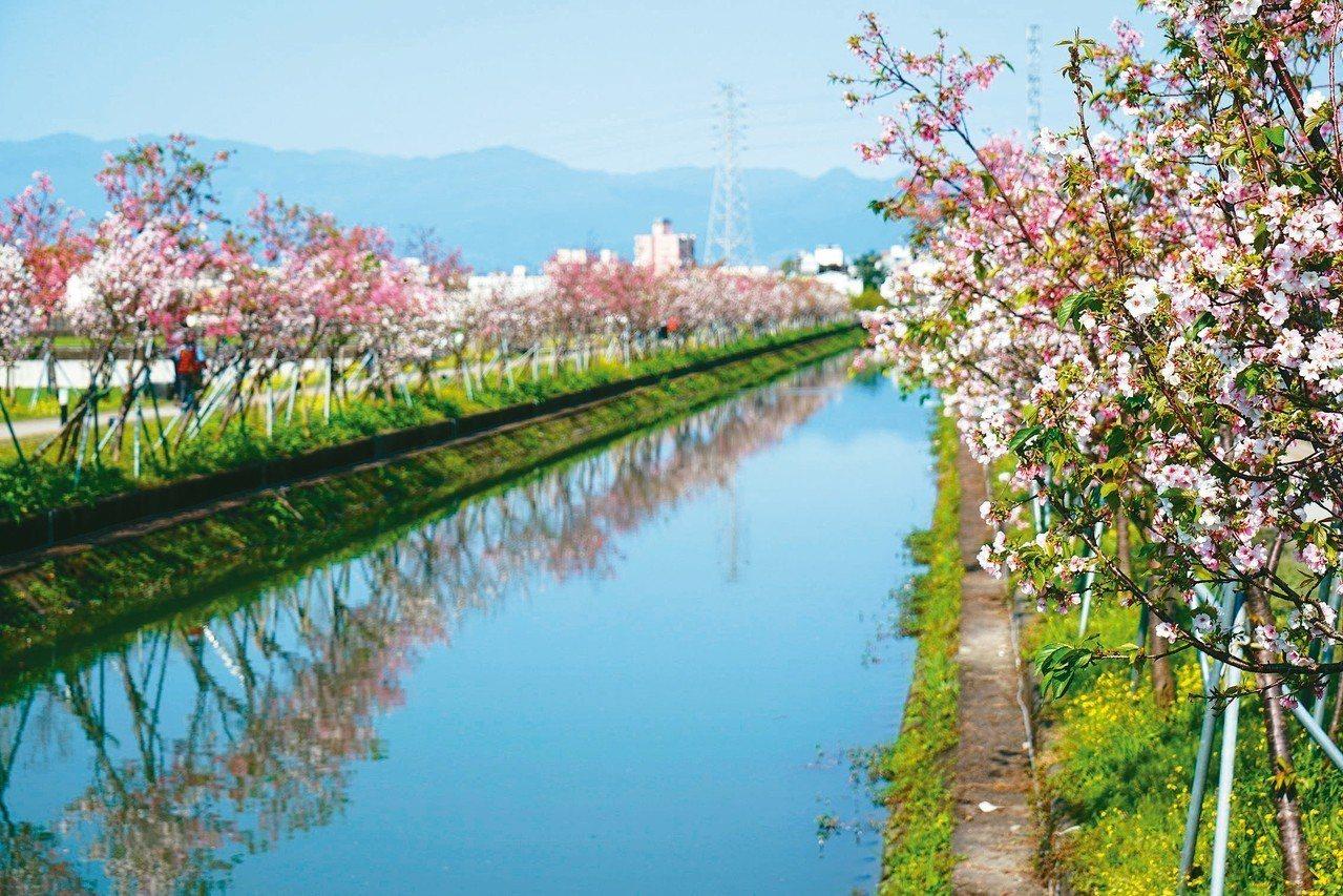 宜蘭羅東鎮公所在羅莊大排旁嫁接櫻花樹,最近櫻花盛開。 記者張芮瑜/攝影