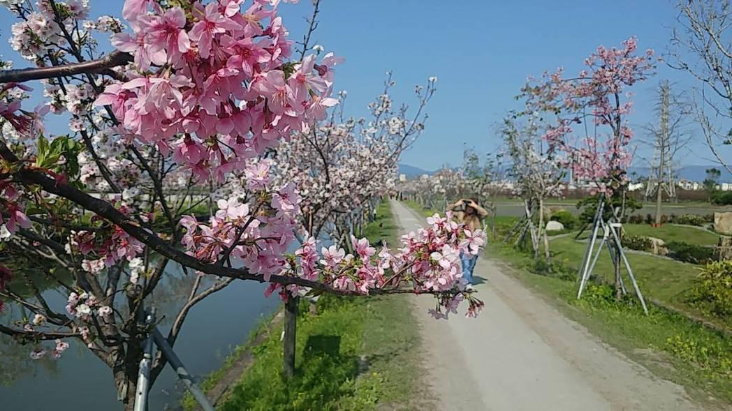 羅東鎮公所在羅莊大排旁嫁接櫻花樹,讓原本人人聞之色變的大排改頭換面。記者張芮瑜/...