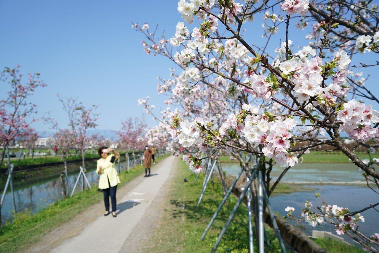 羅東鎮公所在羅莊大排旁嫁接櫻花樹,大排改頭換面令人驚豔。記者張芮瑜/攝影