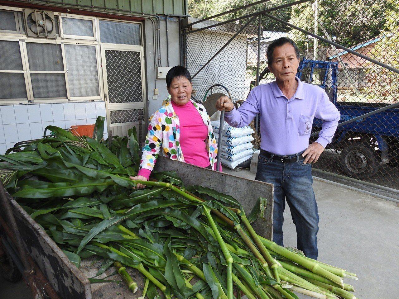 南投縣國姓鄉南港村多數玉米田採密集種植,不為了吃玉米,而是要取玉米莖供鹿隻食用。...