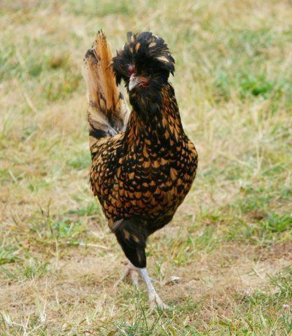 ▲ 具有金色羽毛的波蘭雞。(Source:pixabay)