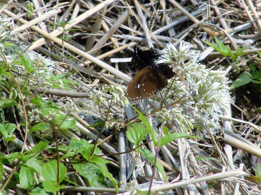 近日天氣放晴已有少數紫斑蝶通過雲林縣林內鄉,今年蝶道周遭遍植蜀葵、蝶豆花及蜜源植...