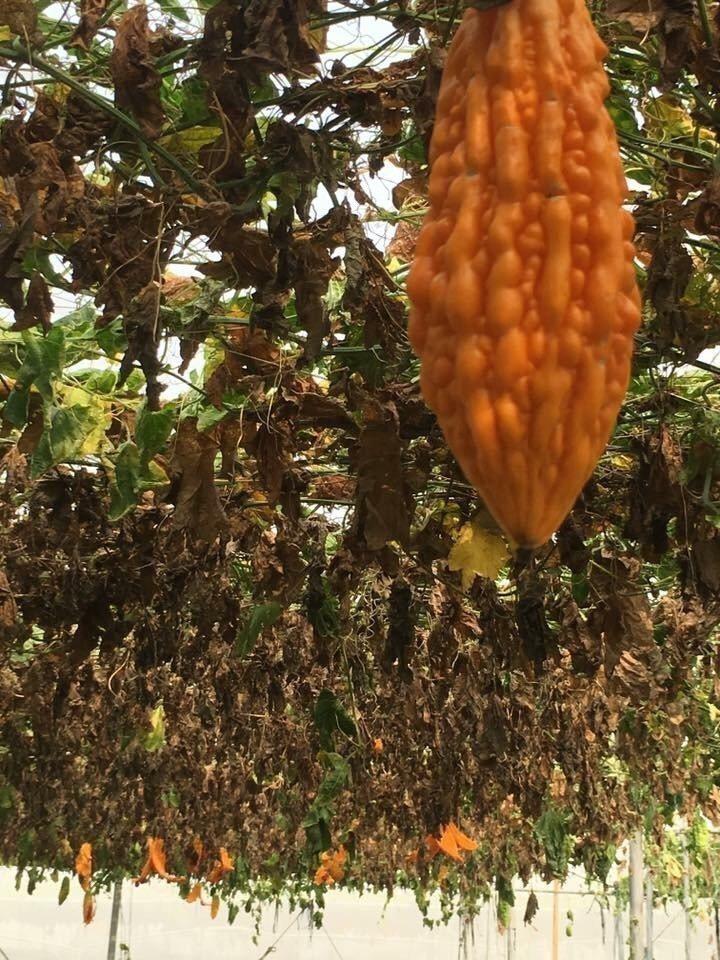 中南部多種作物,在這段期間直接在樹上完熟,損失難以估計。圖/農民提供
