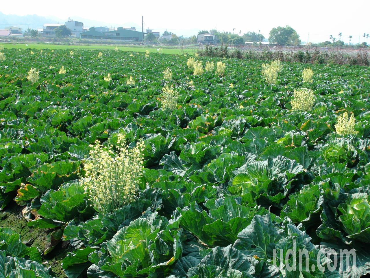 雲林縣菜農鄭世傑栽種0.4公頃的高麗菜,原本盼著年前採收上市,卻因低溫氣候影響生...