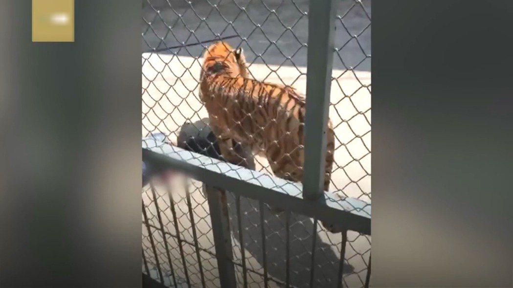 福州動物園1隻老虎在訓練時突然獸性大發,咬死飼養牠的馴獸員。GCTN