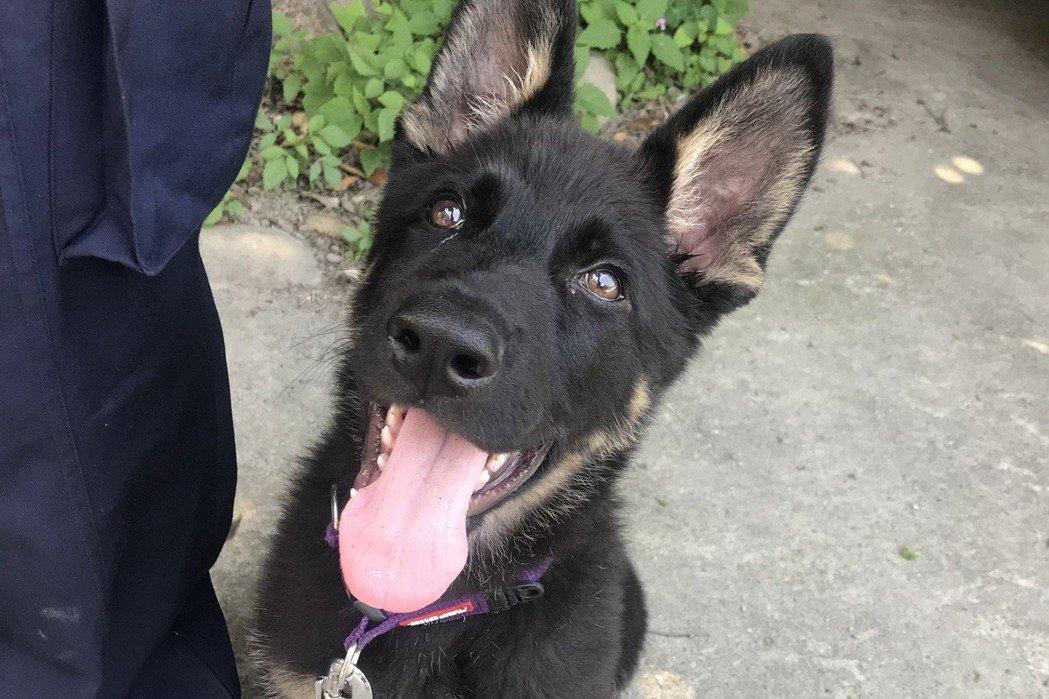 德國狼犬歐迪是台中市警犬隊最菜的,只有3個月大,一臉萌樣。 記者陳宏睿/攝影
