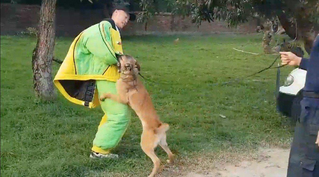 比利時狼犬「忍者」接受咬捕訓練。 記者陳宏睿/攝影