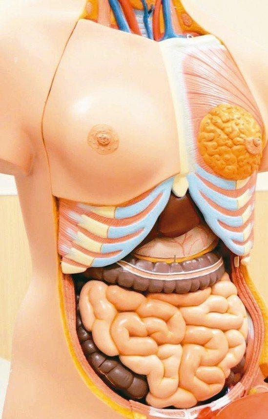 小腸長達六公尺,占消化道總長度60~70%。 圖/聯合報系資料照片