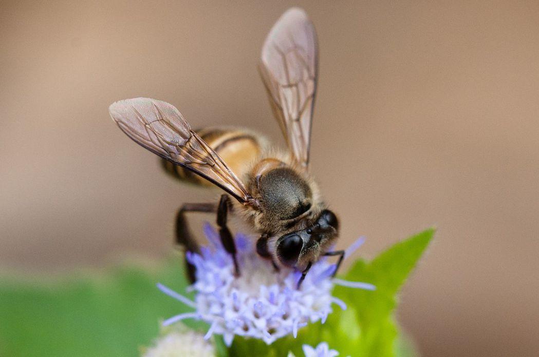 東方蜂(Apis cerana)。 圖/維基共享