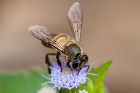 城市養蜂,是為幫助蜜蜂還是滿足自己?