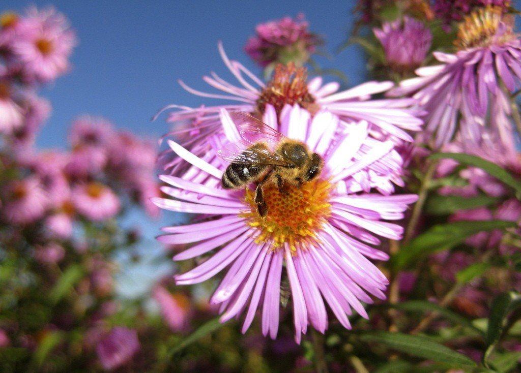 西方蜂,Apis mellifera。 圖/美聯社