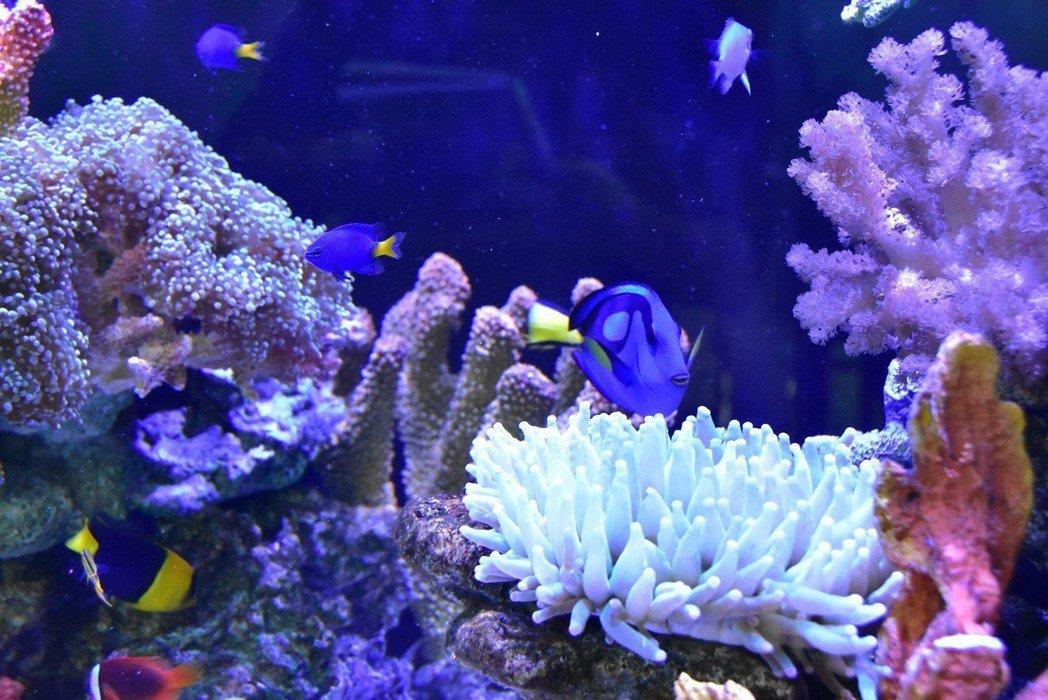 雲端水族箱內培育出共有15種珊瑚、20種魚類。 明道大學/提供。