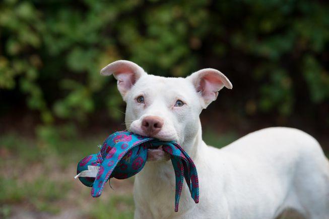 聽障的「幽靈」成為緝毒犬。「沼澤避風港人道機構」提供