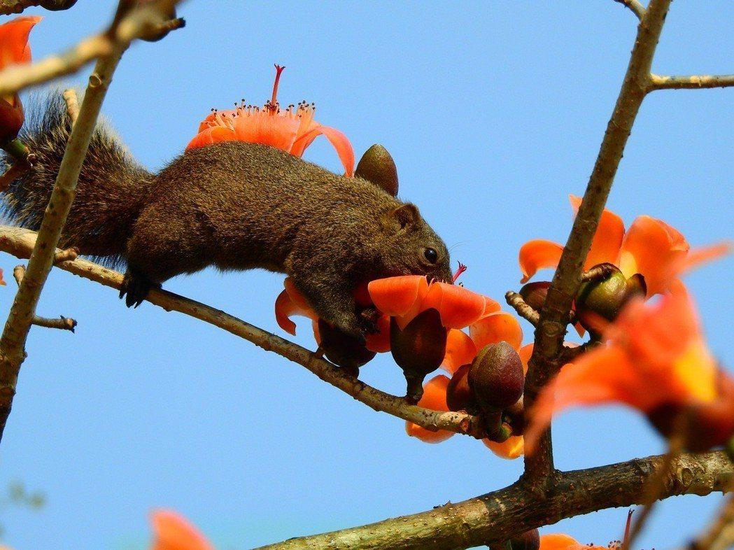 被外媒選為全球最美花道之一的台南白河林初埤木棉花道,目前正值盛開,圖為松鼠正在啜...