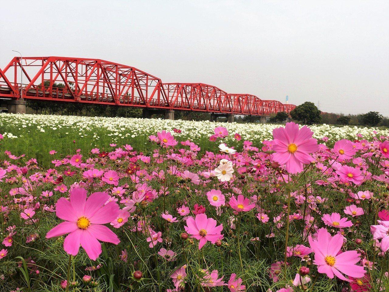 雲林縣西螺鎮公所在西螺大橋東側打造10公頃的波斯菊花海,原本預計在春節期間開花,...