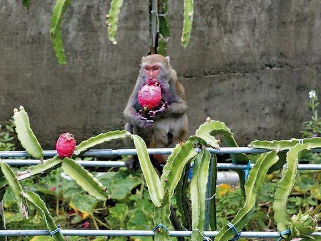 獮猴大軍入侵屏東縣滿州鄉火龍果園,還挑大顆的吃,老農束手無策,滿州鄉將組「驅猴大...