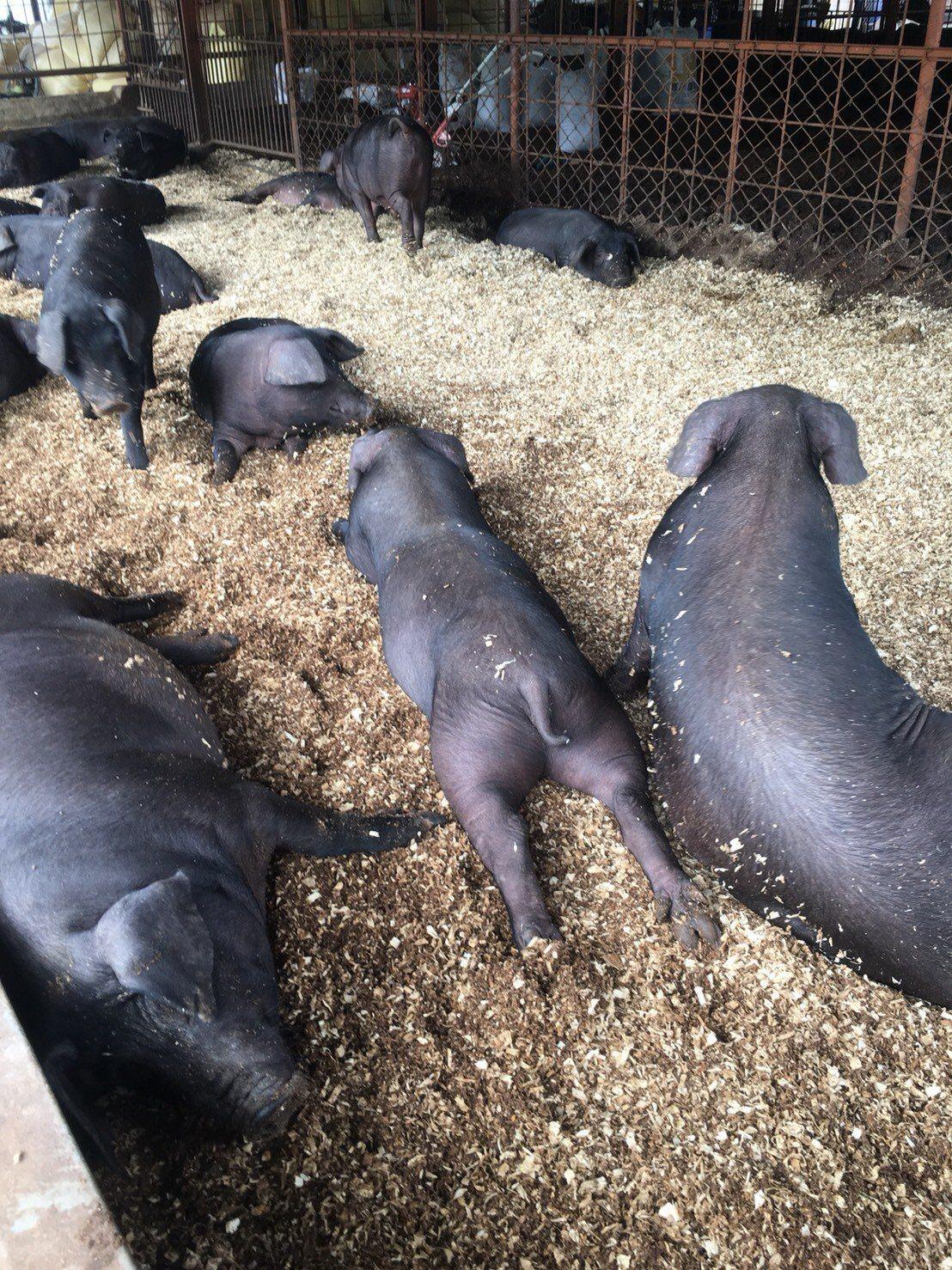 南投國姓鄉「三隻小豬生活農場」負責人趙姓姊妹也會參與友善市集,分享飼養健康豬的理...