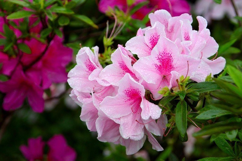 Different kinds of azaleas have differen...