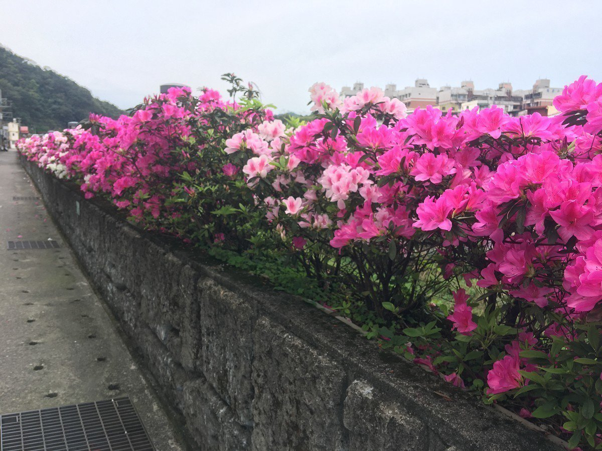 瑞芳區東和無菸步道沿岸的杜鵑花,將近有一公里長,紅的、白的、桃紅,各色的杜鵑花都...