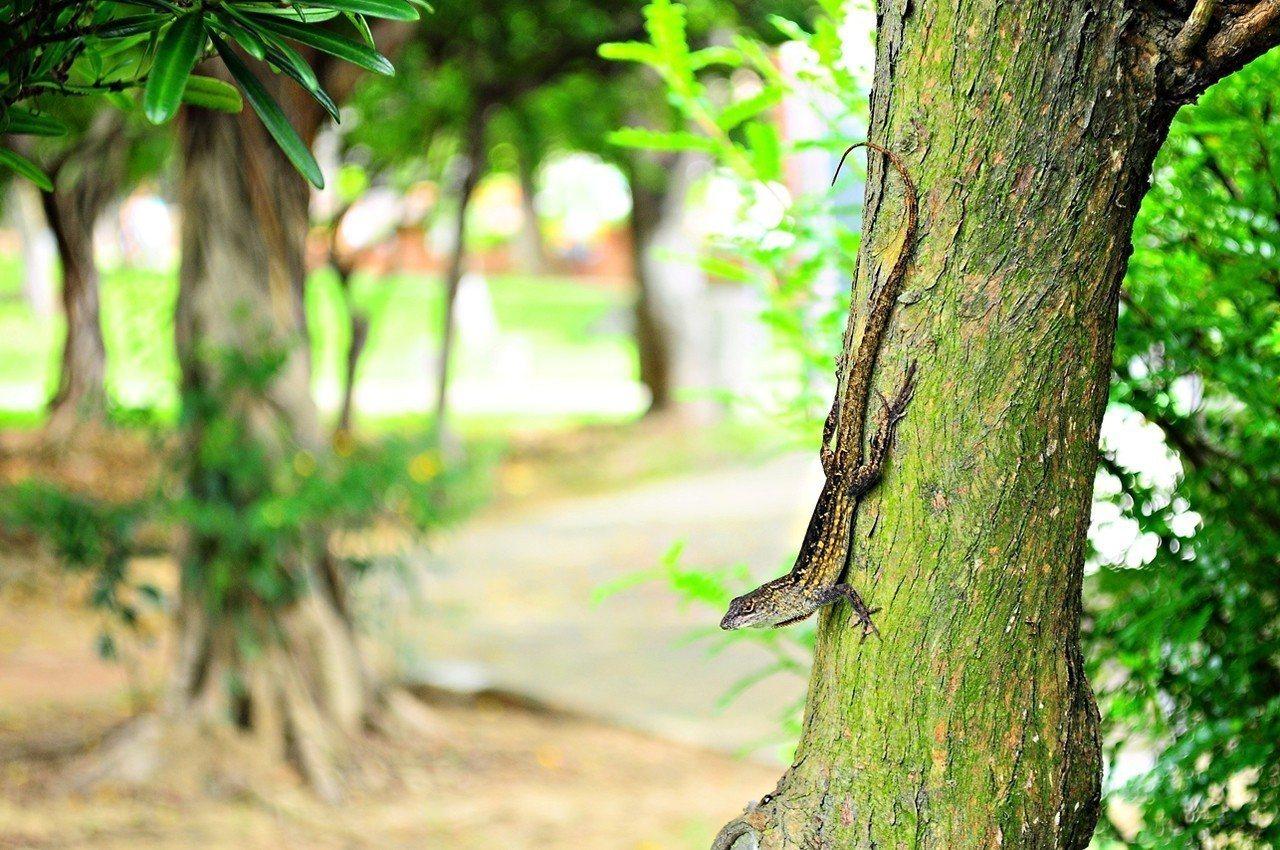 沙氏變色蜥在嘉義的勢力範圍,已跨越八掌溪擴散到嘉義市區。照片/嘉義林區管理處提供