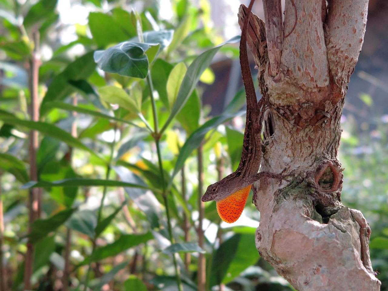 沙氏變色蜥有紅色喉囊。圖/嘉義林區管理處提供