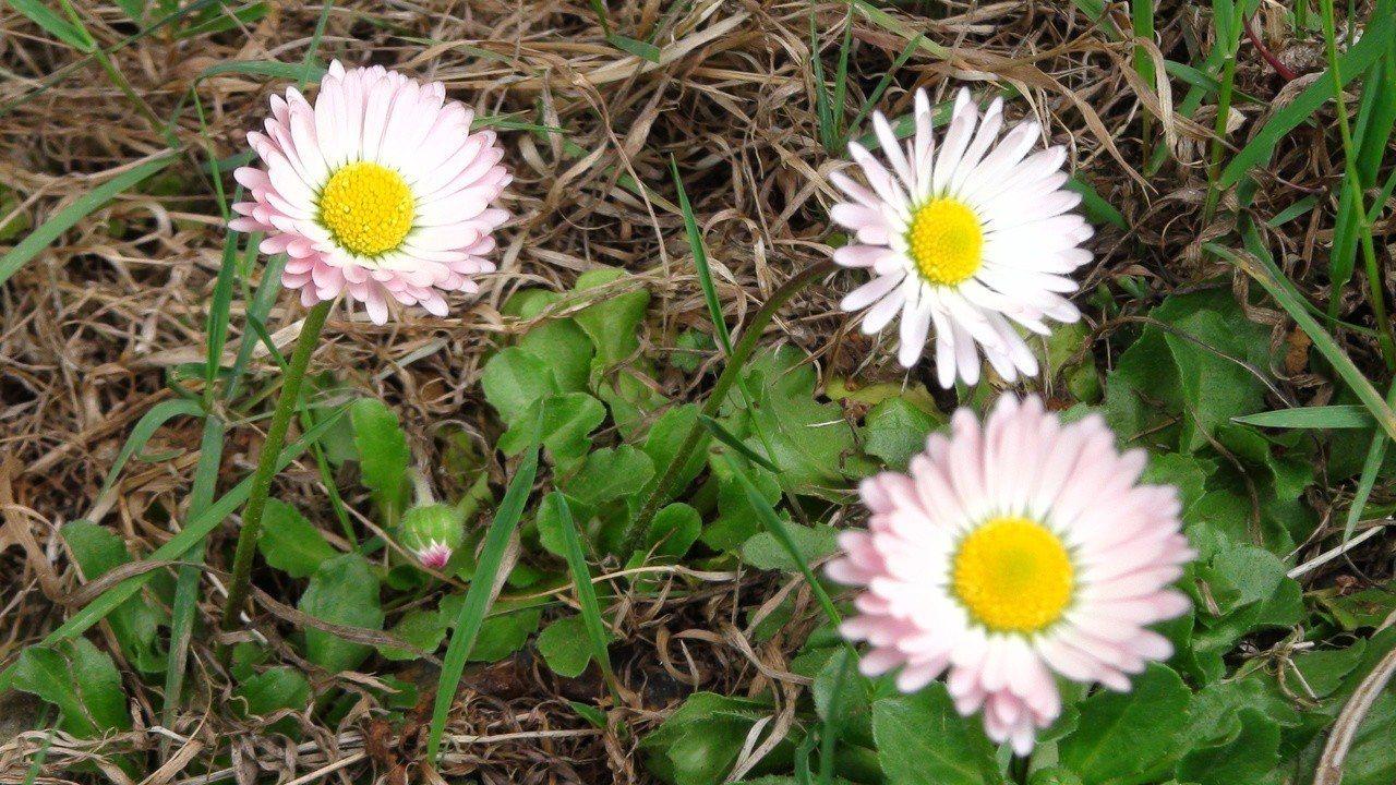 春天的阿里山,雛菊等百花盛開。記者謝恩得/攝影
