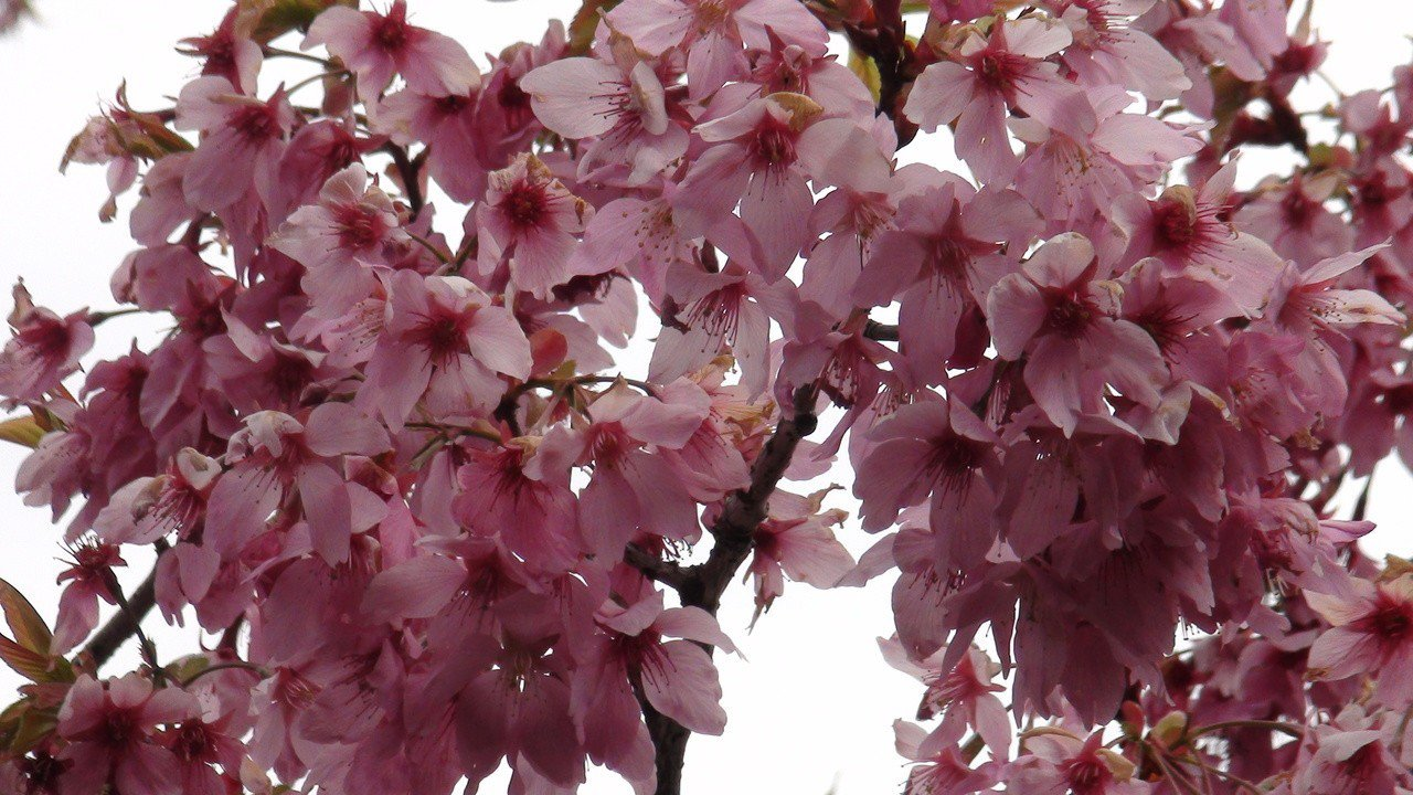 琉球緋寒櫻花期近尾聲,吉野櫻即將上場。記者謝恩得/攝影
