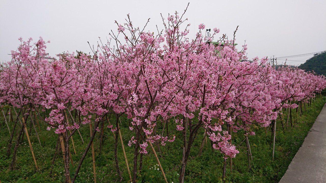 苗栗縣南庄鄉南富社區櫻花林就在田間,吉野櫻正值盛開美麗。記者范榮達/攝影