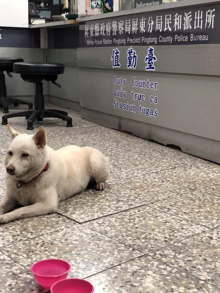 白色柴犬「胖妞」在派出所內等待主人。記者蔣繼平/翻攝