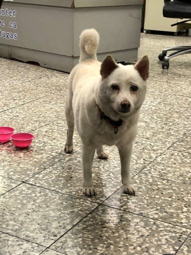 白色柴犬「胖妞」11日晚上走失,在派出所外面排徊搖尾巴被員警發現。記者蔣繼平/翻...