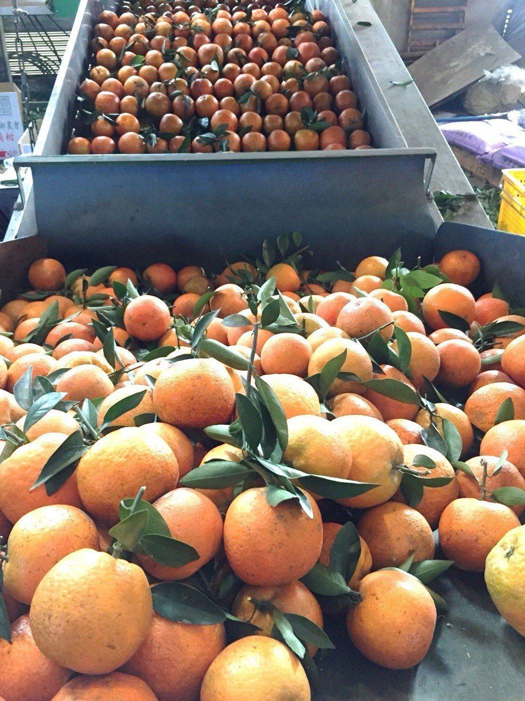 新竹縣峨眉鄉的所產的桶柑有「柑橘之王」的美名,果實碩大且多汁。 記者黃淑惠/攝影
