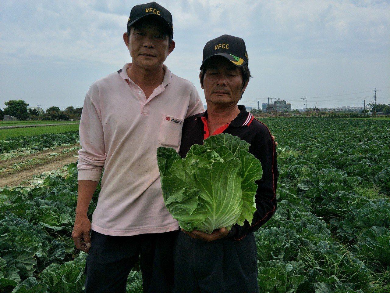 林秋保(左)、湯世清合種的高麗菜田,決定周六一早每顆20元開放採收。記者謝進盛/...