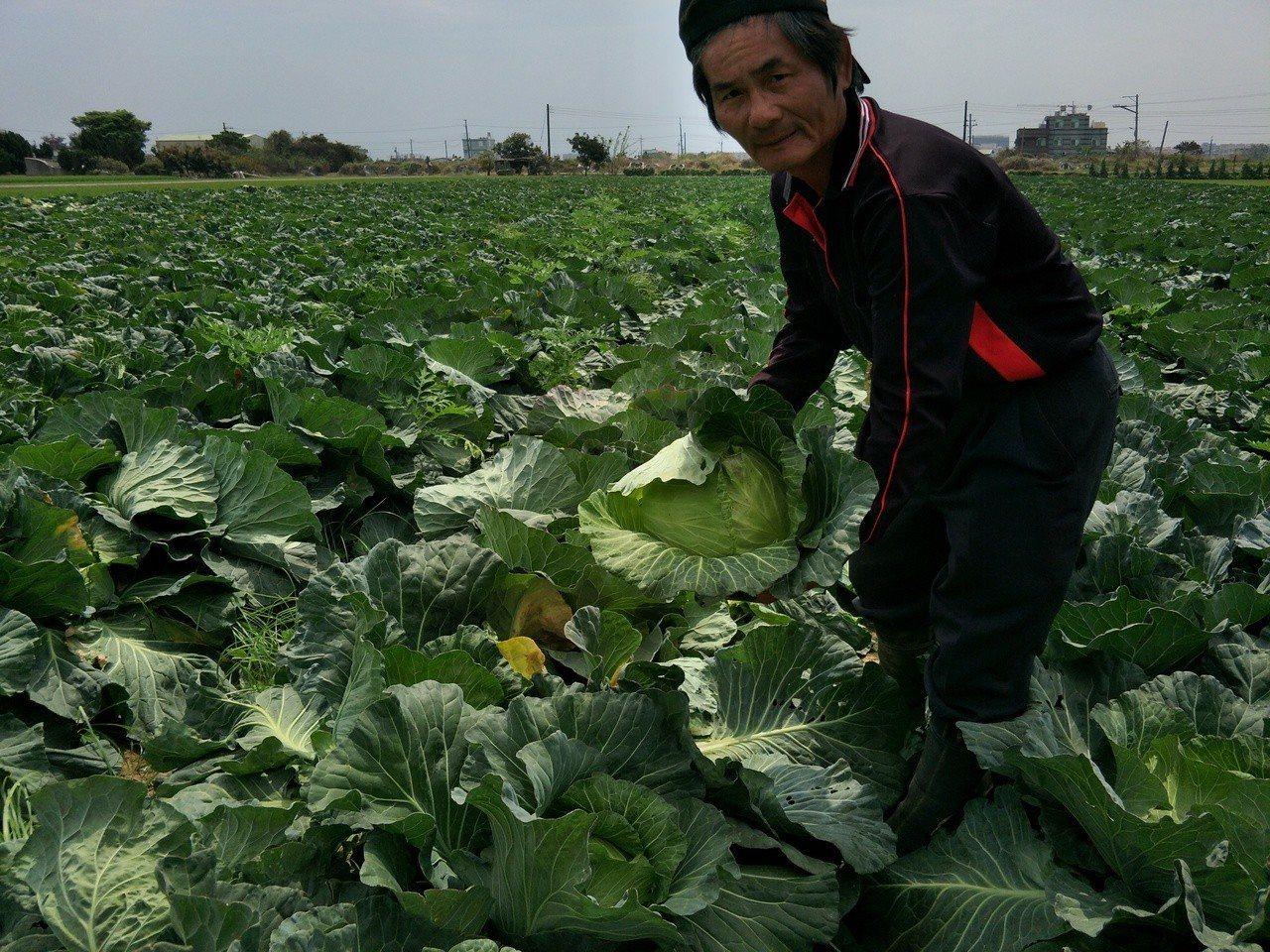每顆高麗菜不乏3公斤以上屬特級品。記者謝進盛/攝影
