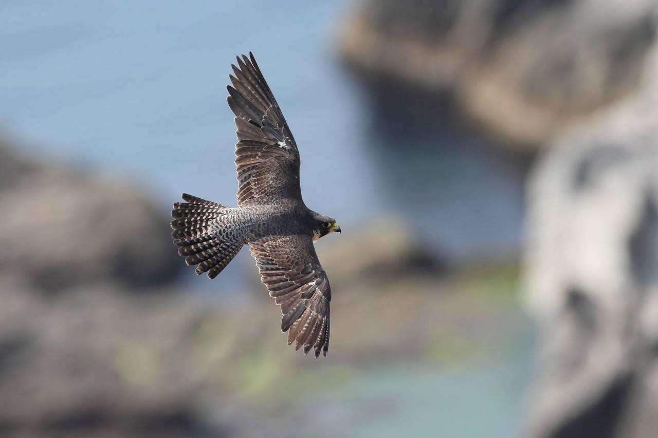 遊隼繁殖季到了,龍洞岩場大禮堂區域公告禁攀岩、干擾。圖/基隆市野鳥學會提供