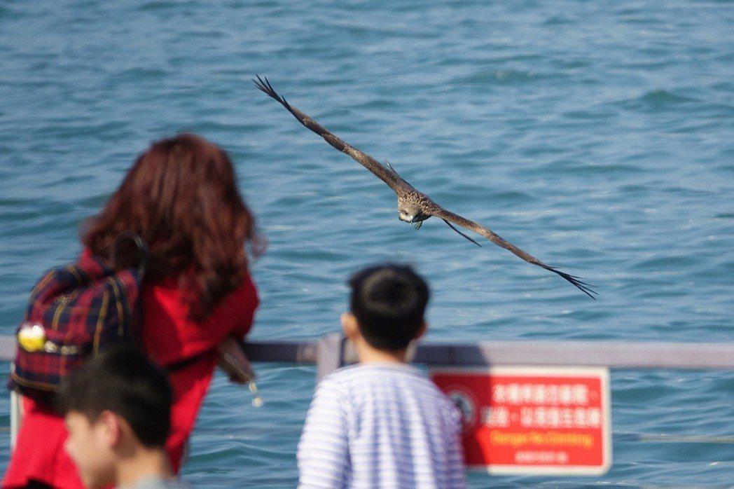 基隆市海洋廣場緊臨基隆港,每天都有老鷹盤旋飛翔。圖/基隆市野鳥學會提供