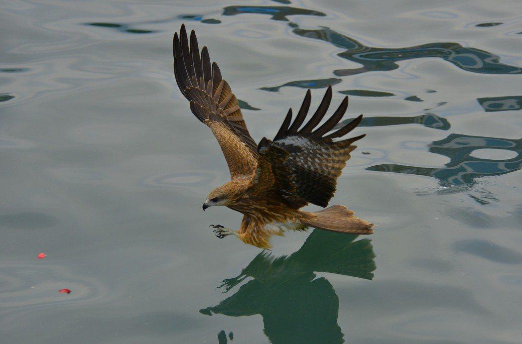 基隆港每天都可看到老鷹覓食,但抓的不是活魚,而是崁仔頂漁市流出的內臟腐食居多。圖...