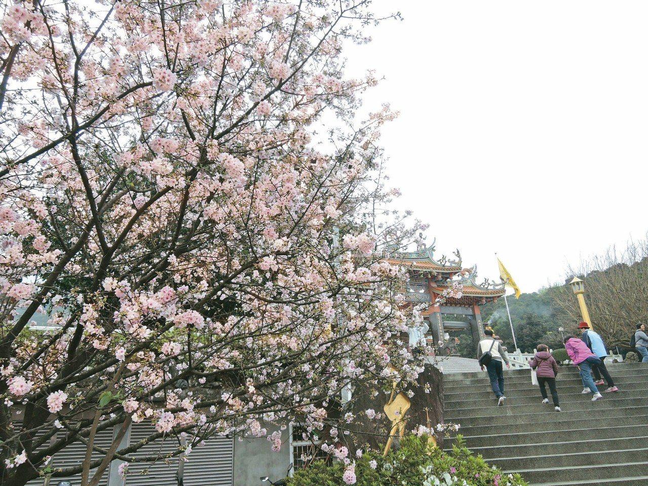 新北賞櫻勝地─淡水天元宮的櫻花已開六、七成。 記者陳珮琦/攝影