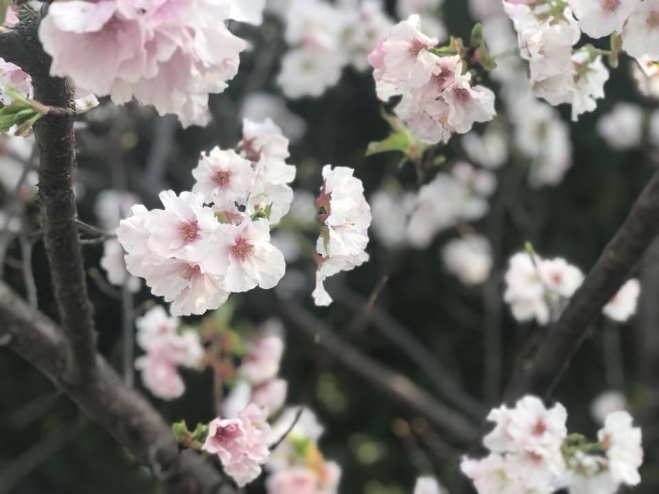 陽明山的吉野櫻進入最後花期。 圖/北市公園處提供