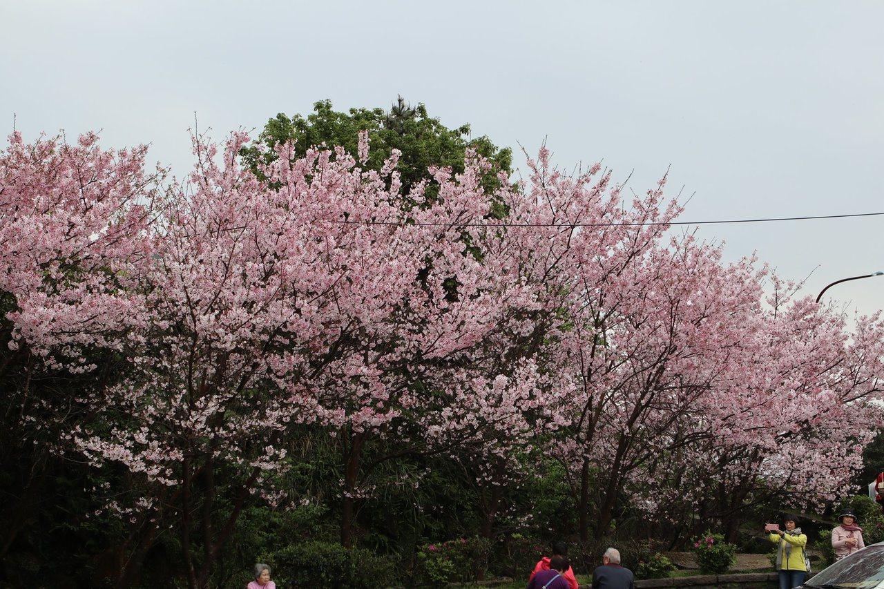陽明公園的吉野櫻最後盛開中。 圖/北市公園處提供